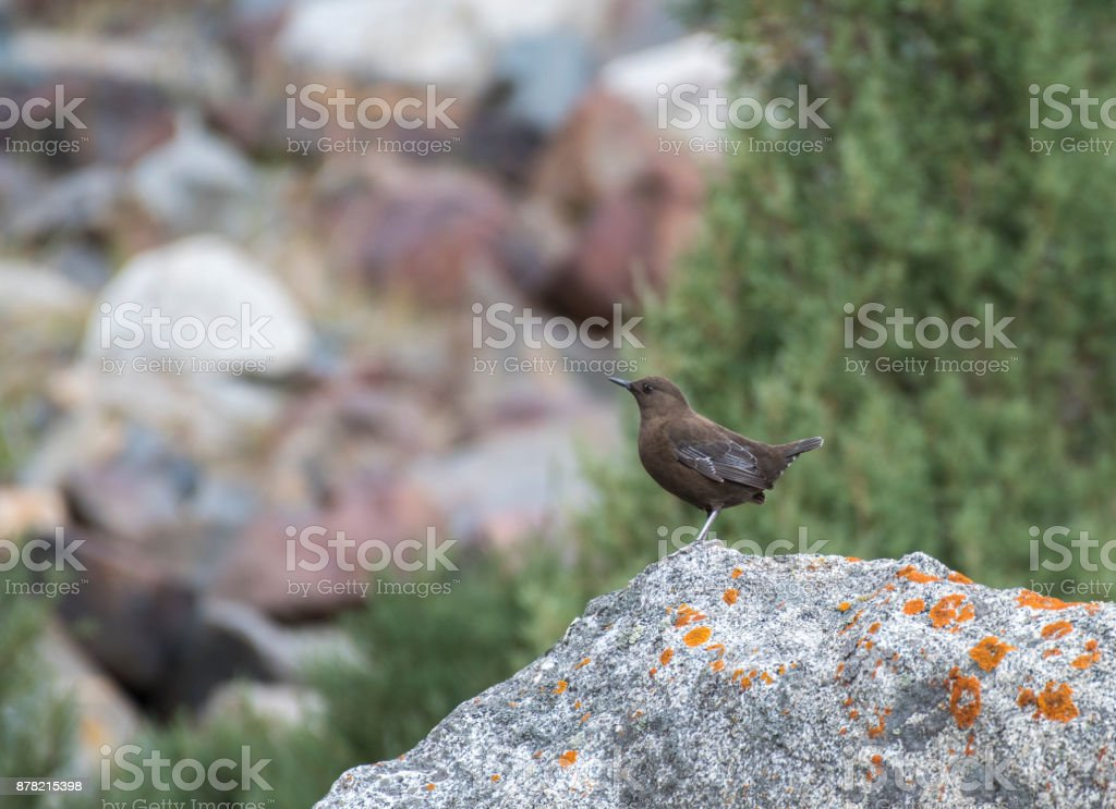 Brown dipper (Cinclus pallasii) stock photo