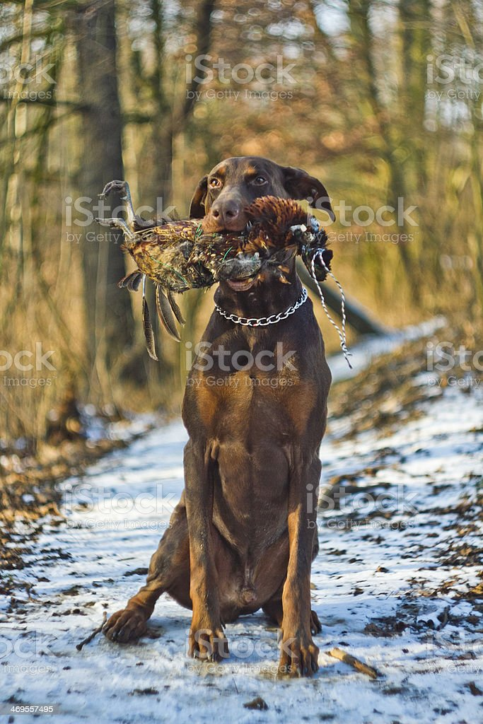 Brown doberman dog hunting royalty-free stock photo