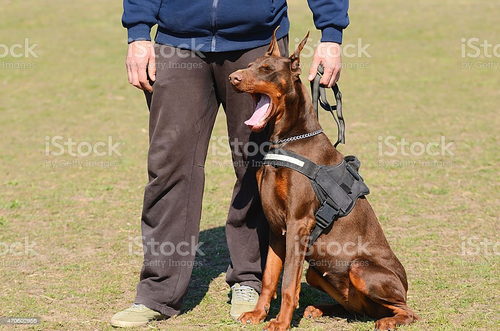 Brown Doberman Pinscher with owner stock photo