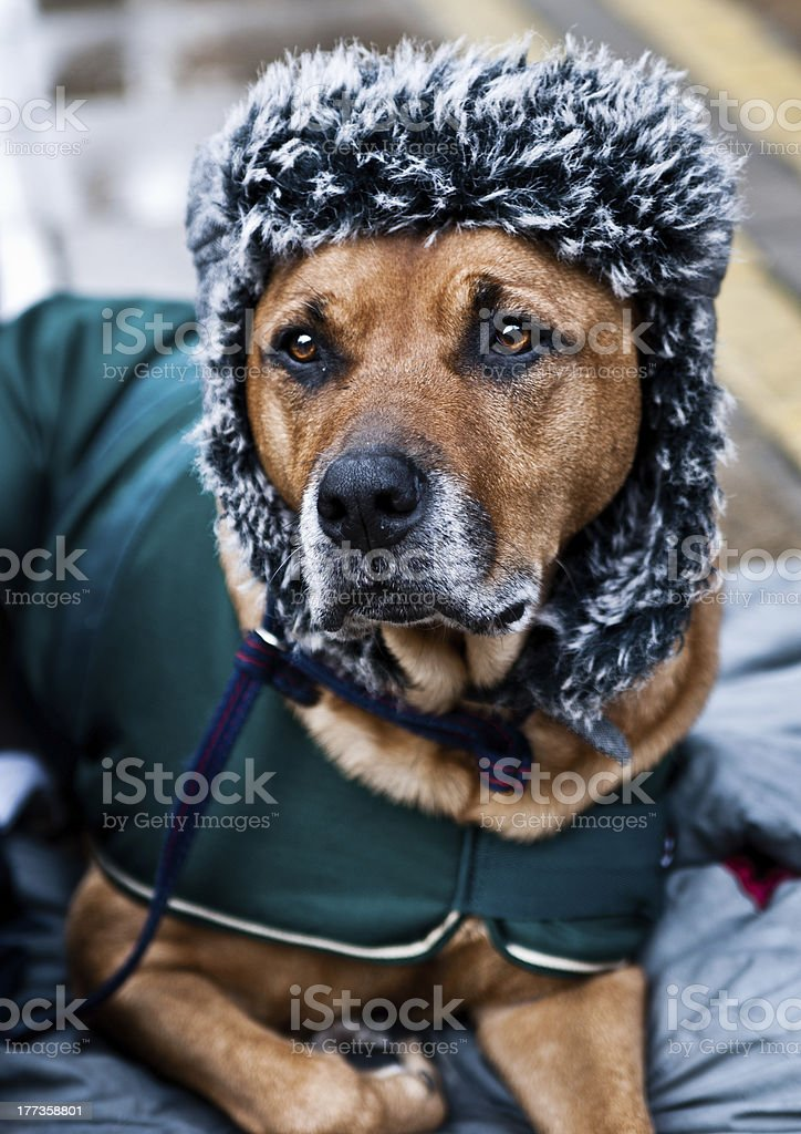 Brown dog belonging to homeless man wearing hat and coat. stock photo