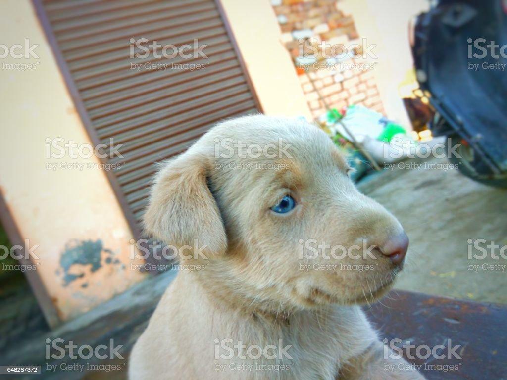 Brown dog blue eyes stock photo