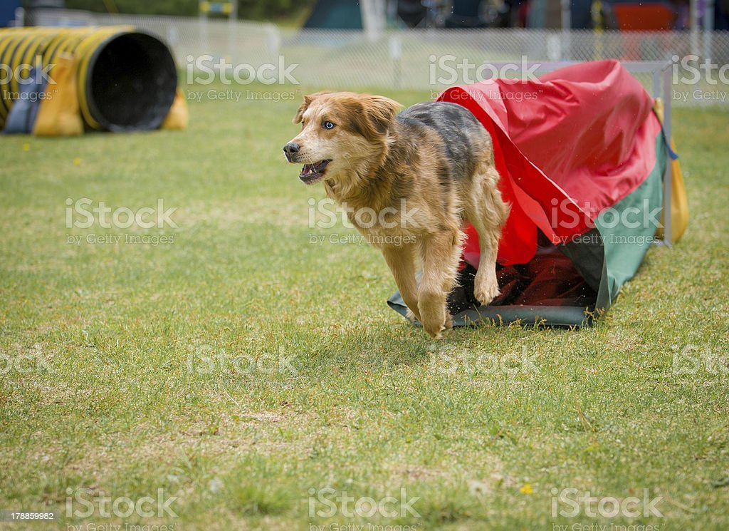Brown dog exiting agility tunnel royalty-free stock photo