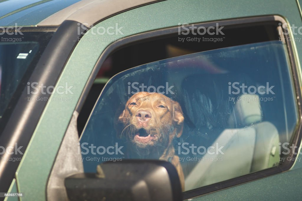 Brown Dog Looking Out Car Window stock photo