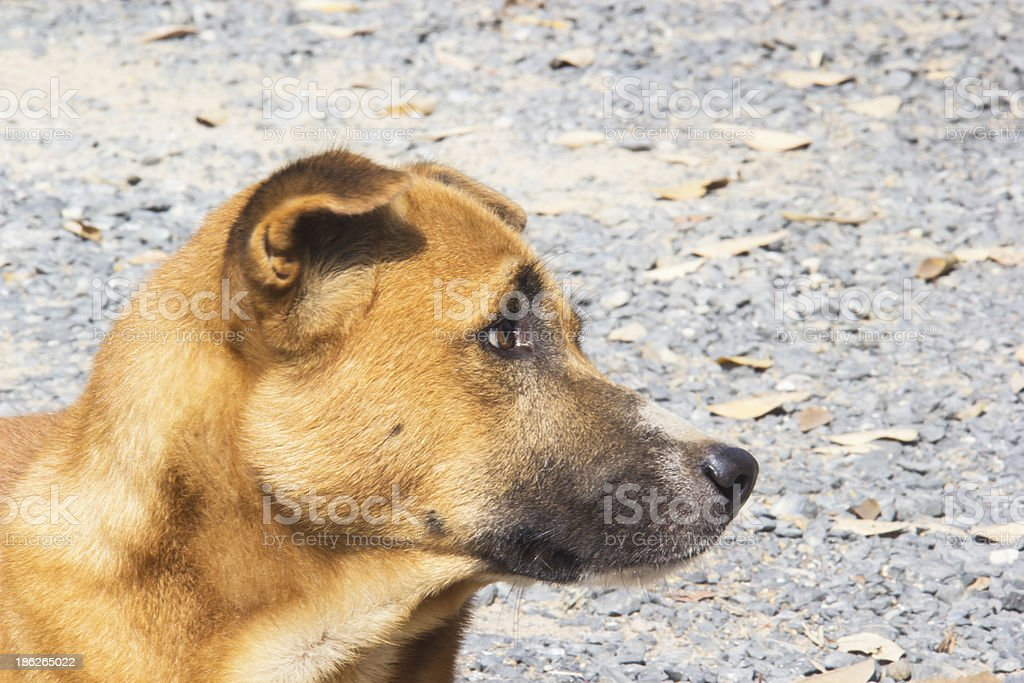 Brown dog looking royalty-free stock photo