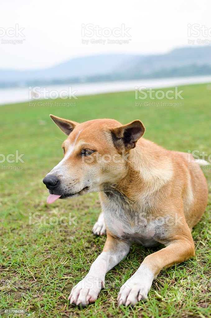 Brown Dog on grass stock photo