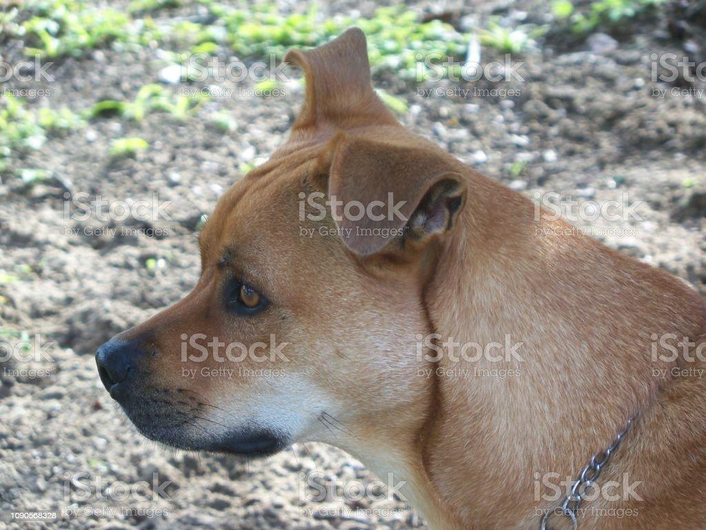 Brown dog profile stock photo
