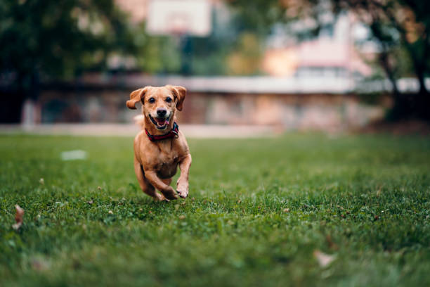 Brown dog running on the grass stock photo