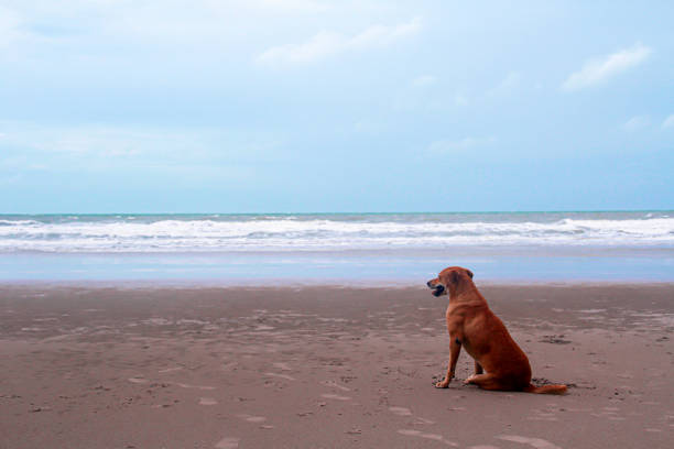 Brown dog sitting on sandy beach and looking at sea in the morning on picture id1240796592?b=1&k=6&m=1240796592&s=612x612&w=0&h=vloojqvwqnr6ao01ktjikgpufu70ort5mbscgp0g60u=