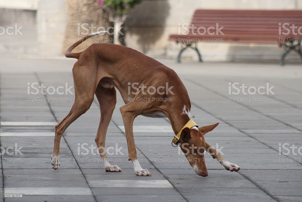 Brown dog sniffing stock photo