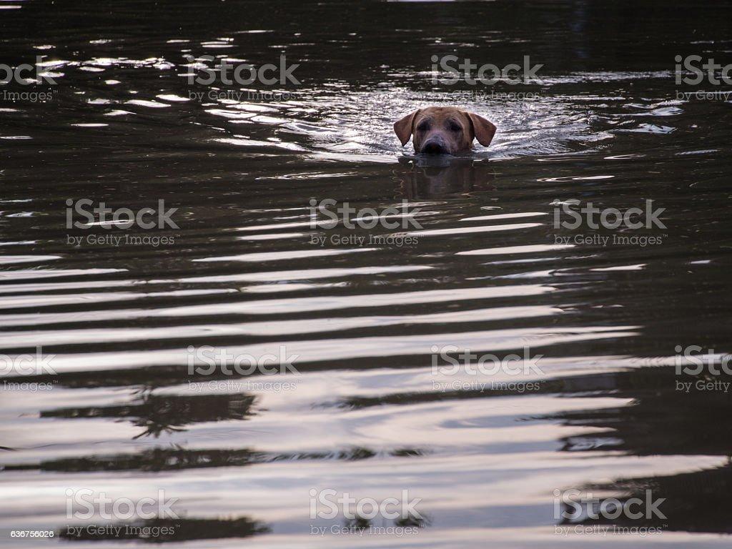Brown Dog Swimming stock photo