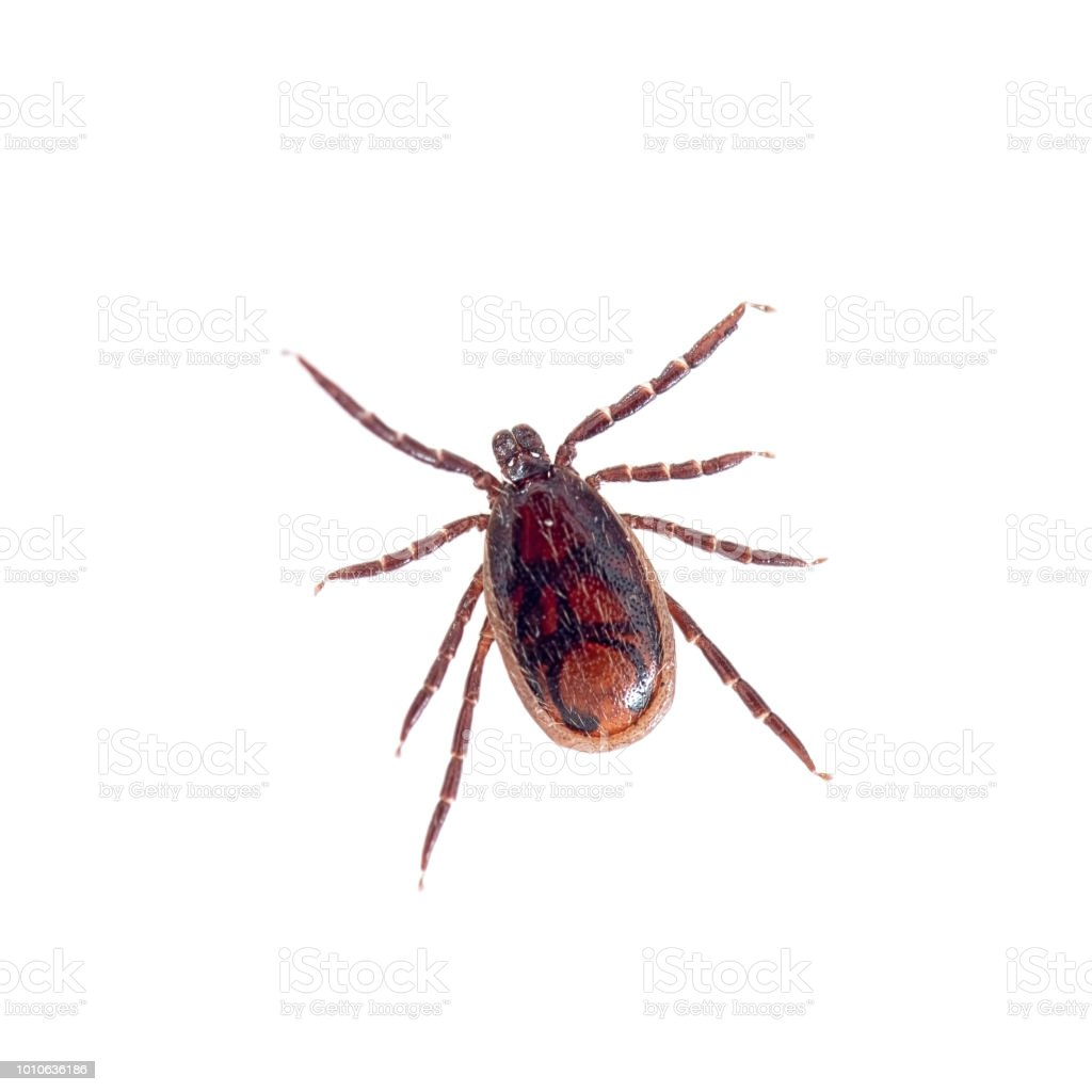 Brown dog tick, Rhipicephalus sanguineus isolated on white background. Dog risk for many conditions including babesiosis, ehrlichiosis, rickettsiosis, and hepatozoonosis. stock photo