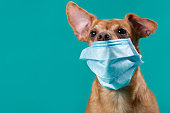 brown dog with a medical mask on his face, protruding ear, medicine and virus protection concept, close up, copy space