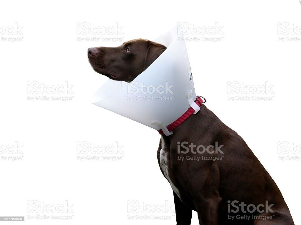 Brown dog with ruff on white background stock photo