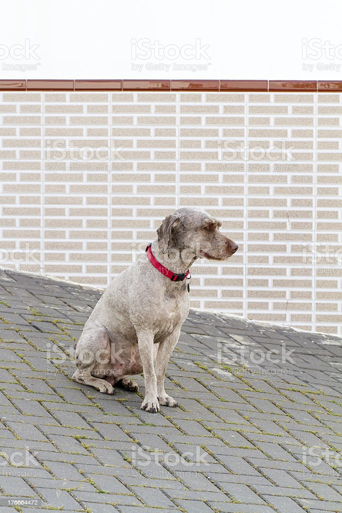 brown domestic dog with red collar royalty-free stock photo