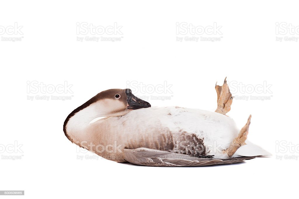 Brown domestic goose on white royalty-free stock photo