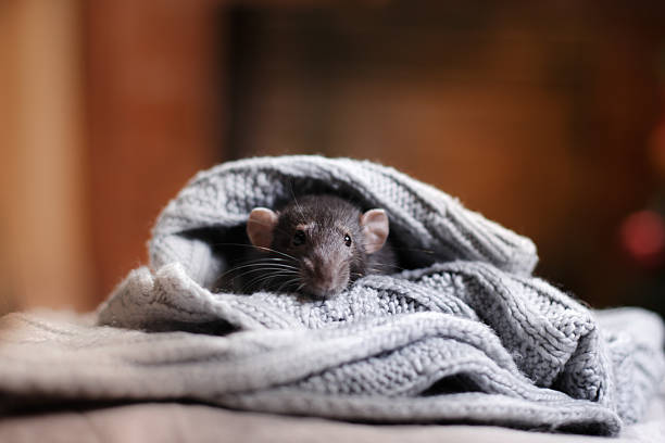 Brown  domestic rat stock photo
