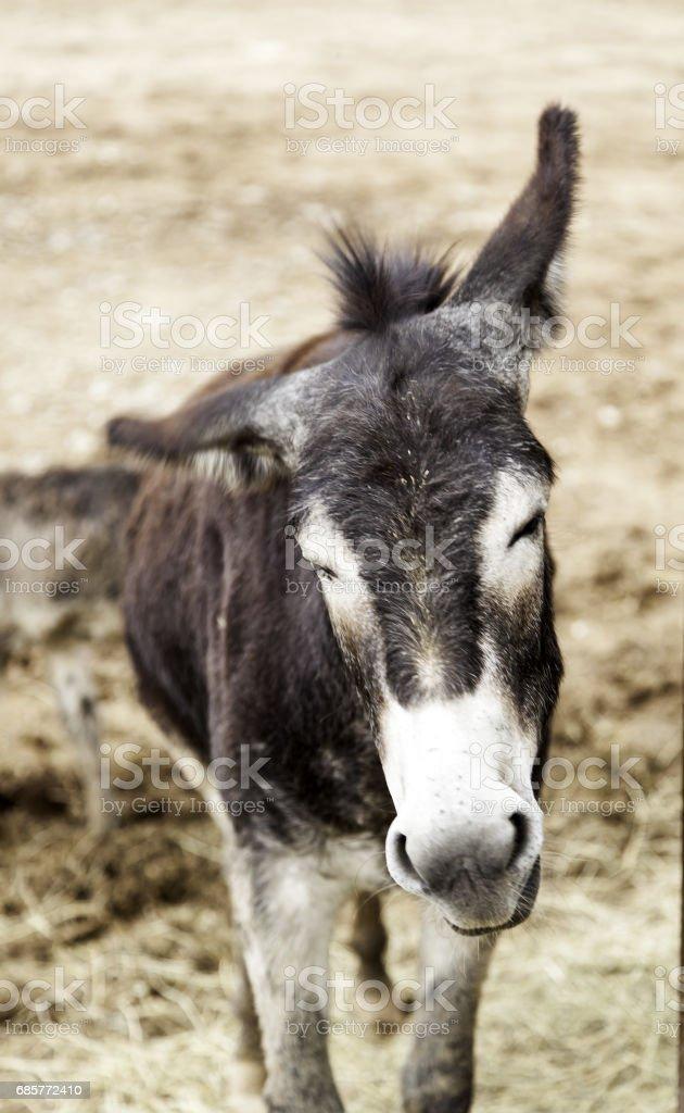 Brown donkey farm royalty-free stock photo