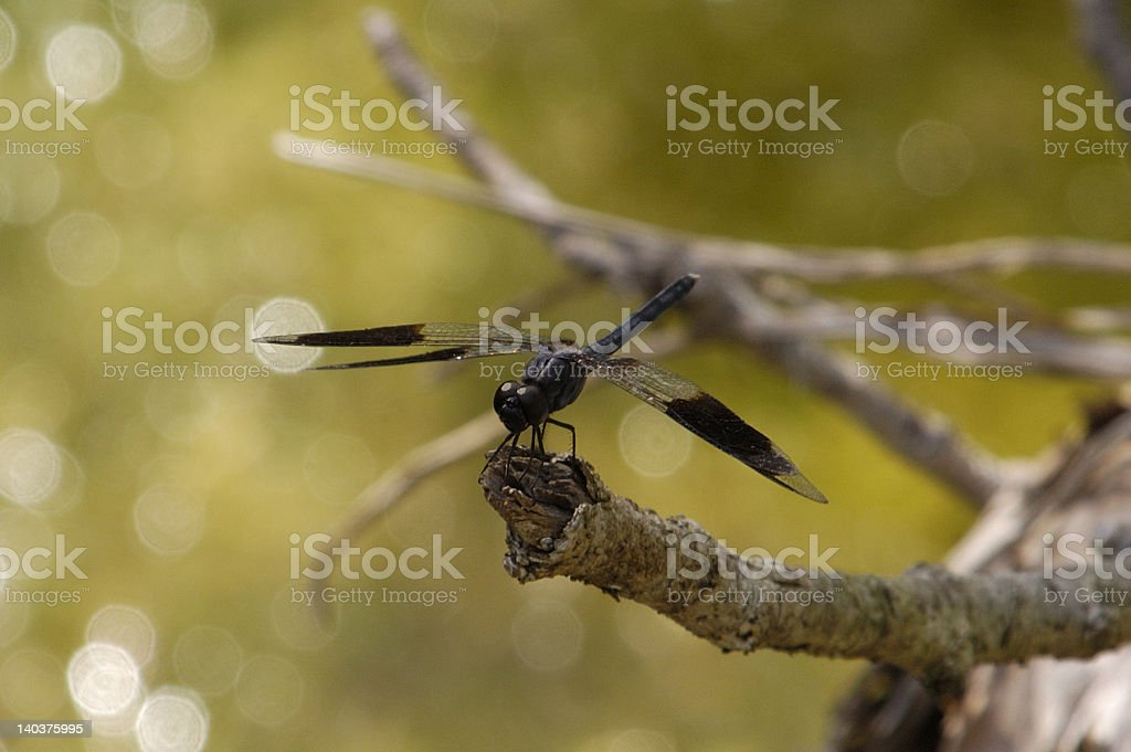Brown Dragonfly over the Water stock photo