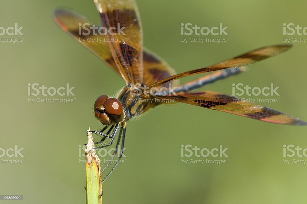 Brown dragonfly royalty-free stock photo