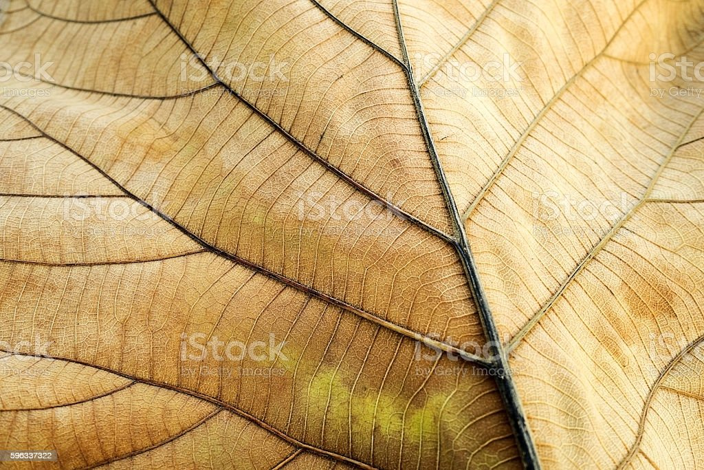 Brown dried leaf. Texture  teak leaf show detail  in background royalty-free stock photo