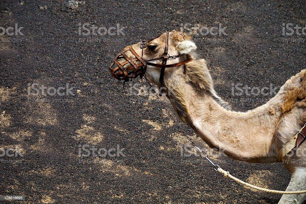 brown dromedary bite involcanic timanfayaspain africa stock photo