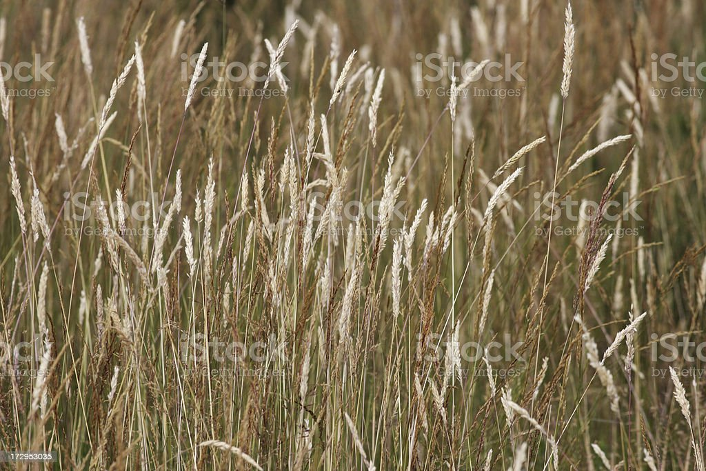 Brown dry summer grasses close up in mixed focus royalty-free stock photo