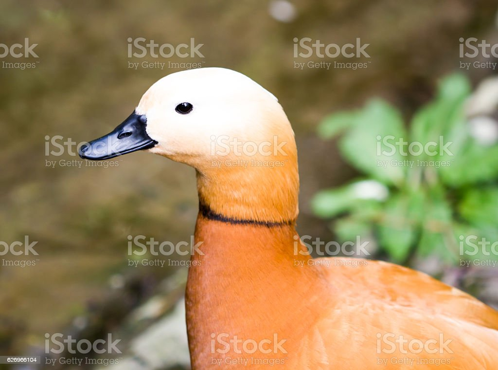Brown Duck background. stock photo