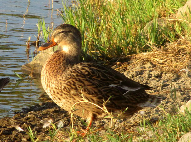 Brown Duck on Shore at Lake stock photo