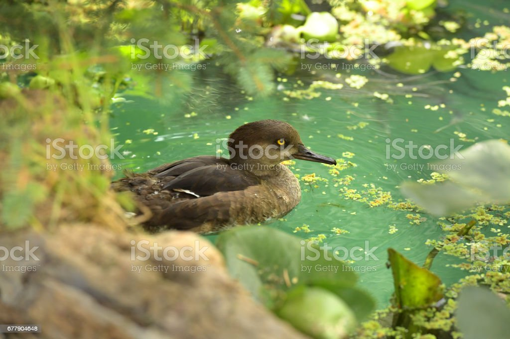 Brown Duck Swimming royalty-free stock photo