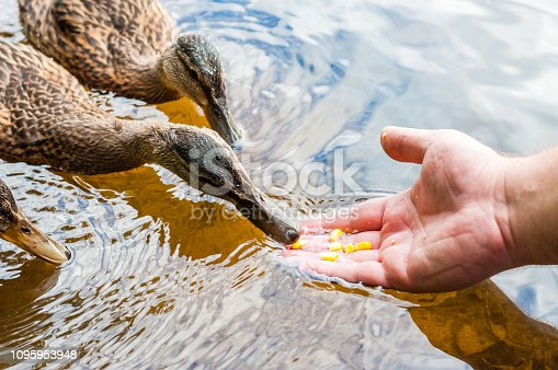 Brown ducks, ducklings eating corn grains from human palm hand in lake near the coast, feeding time. Water birds species in the waterfowl family Anatidae.