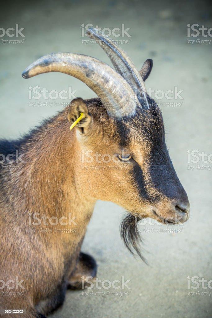 Brown dwarf goat royalty-free stock photo