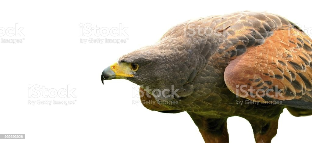 Brown Eagle isolated on white royalty-free stock photo