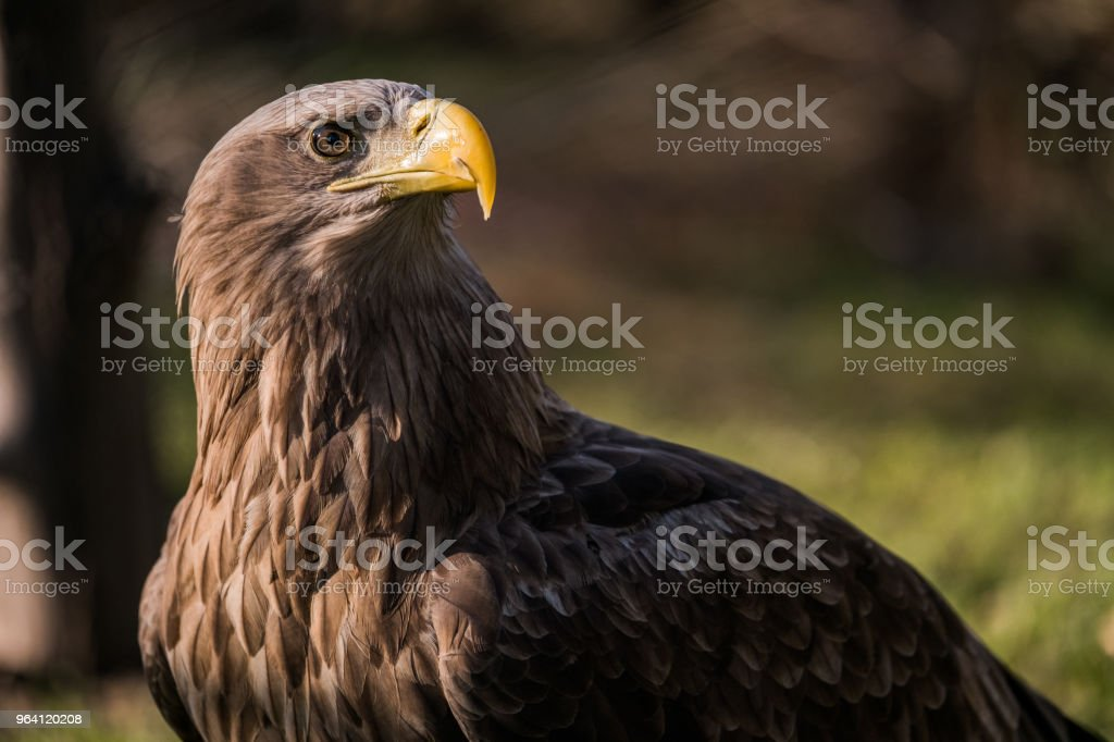 Brown eagle with yellow beak in nature. - foto stock