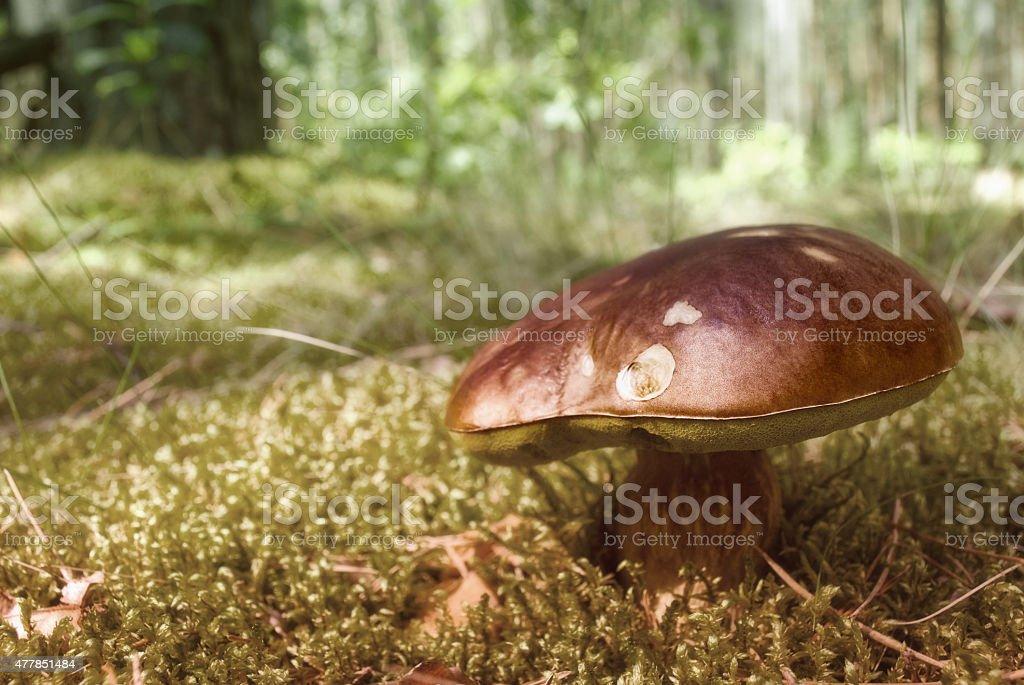Brown eatable mushroom stock photo