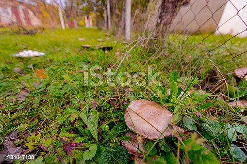Wild mature, old mushroom with umbrella is growing among grass in garden at autumn season.