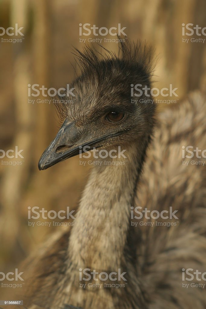 brown emu royalty-free stock photo