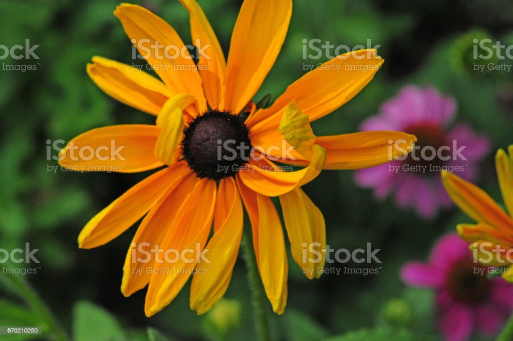 966ef0ab2a17 Brown Eyed Susan Bloom Stock Photo   More Pictures of Black-Eyed ...