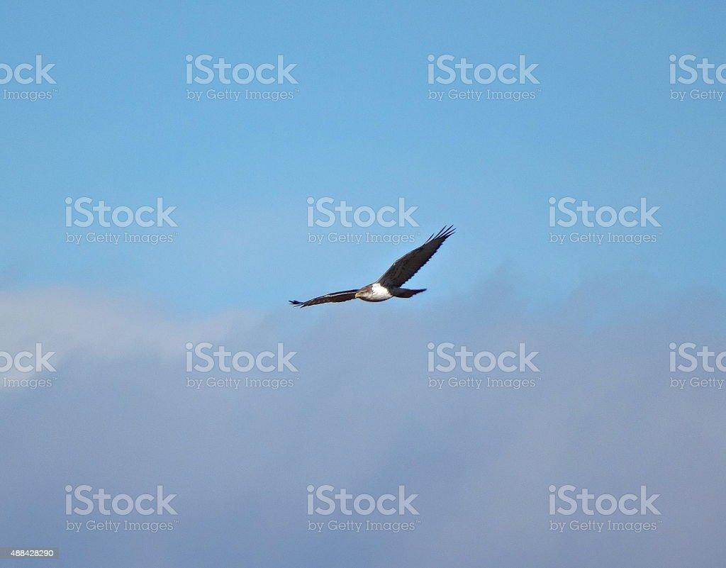 Brown Falcon Flight stock photo