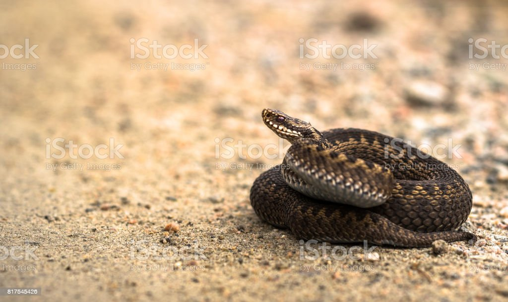 Brown female of Common European Adder, Vipera berus, lying on sand road stock photo
