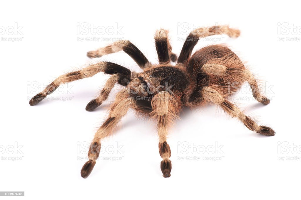 A brown female Tarantula spider (Nhandu coloratovilosum) royalty-free stock photo