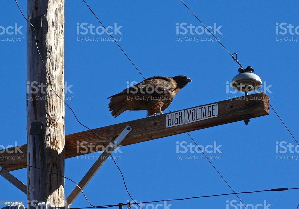 Brown Ferruginous Hawk stock photo