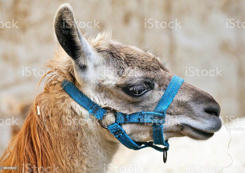 Llama  brown color royalty-free stock photo