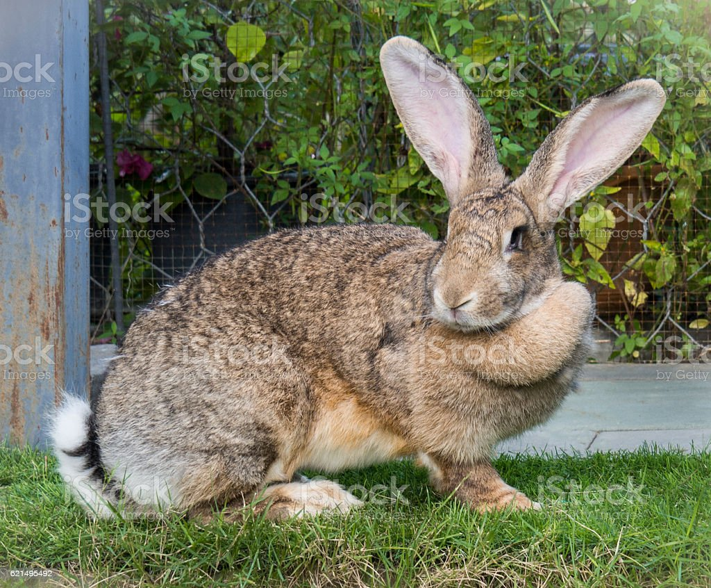 Brown Flemish Giant Rabbit in the Garden stock photo