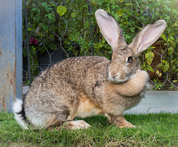 Brown Flemish Giant Rabbit in the Garden Rabbit sitting on grass in Saraburi province,Thailand  benelux stock pictures, royalty-free photos & images