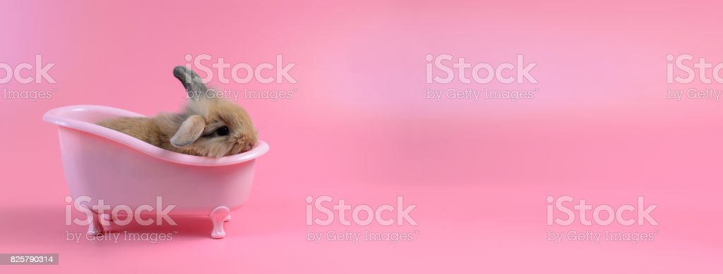 brown fluffy bunny in pink bathtub on pink background, Bathing Bunny and copy space for text stock photo