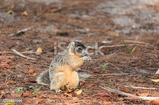 Brown fox squirrel Sciurus niger eats nuts on the ground under a tree in Naples, Florida