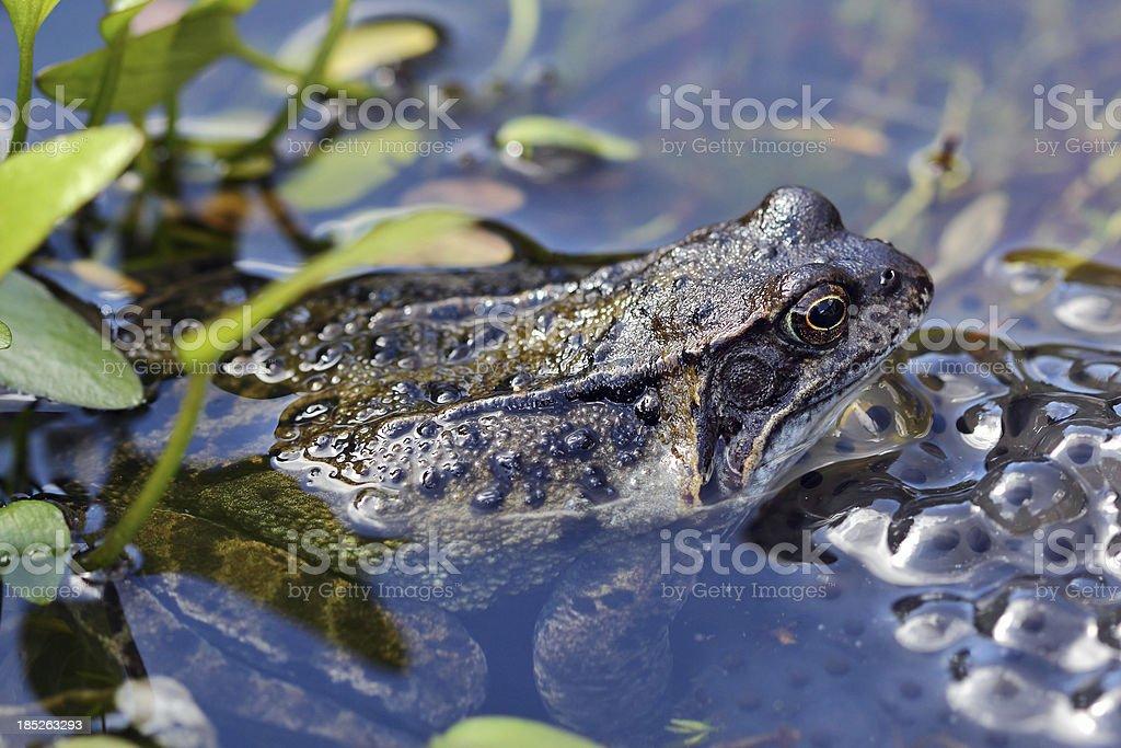 Brown Frosch und Froschlaich – Foto