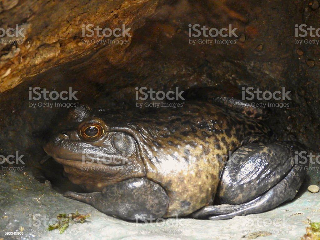 Brown Frog Hiding royalty-free stock photo