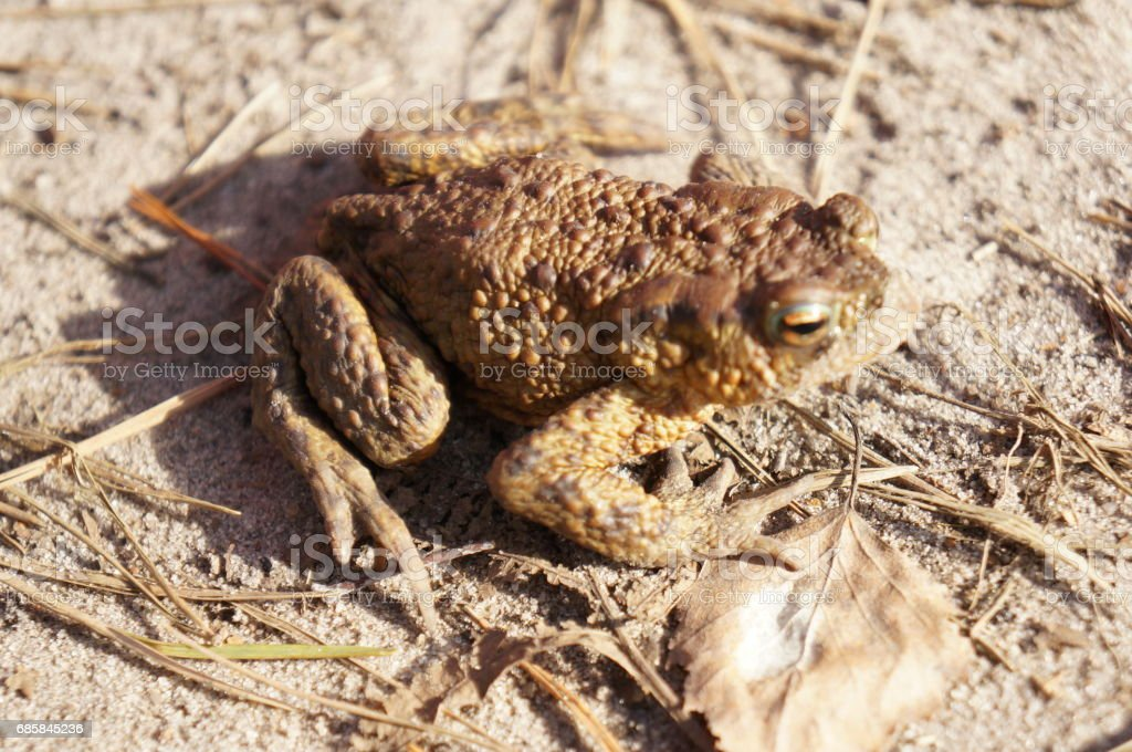 Brown frog jumping on a sandy beach stock photo