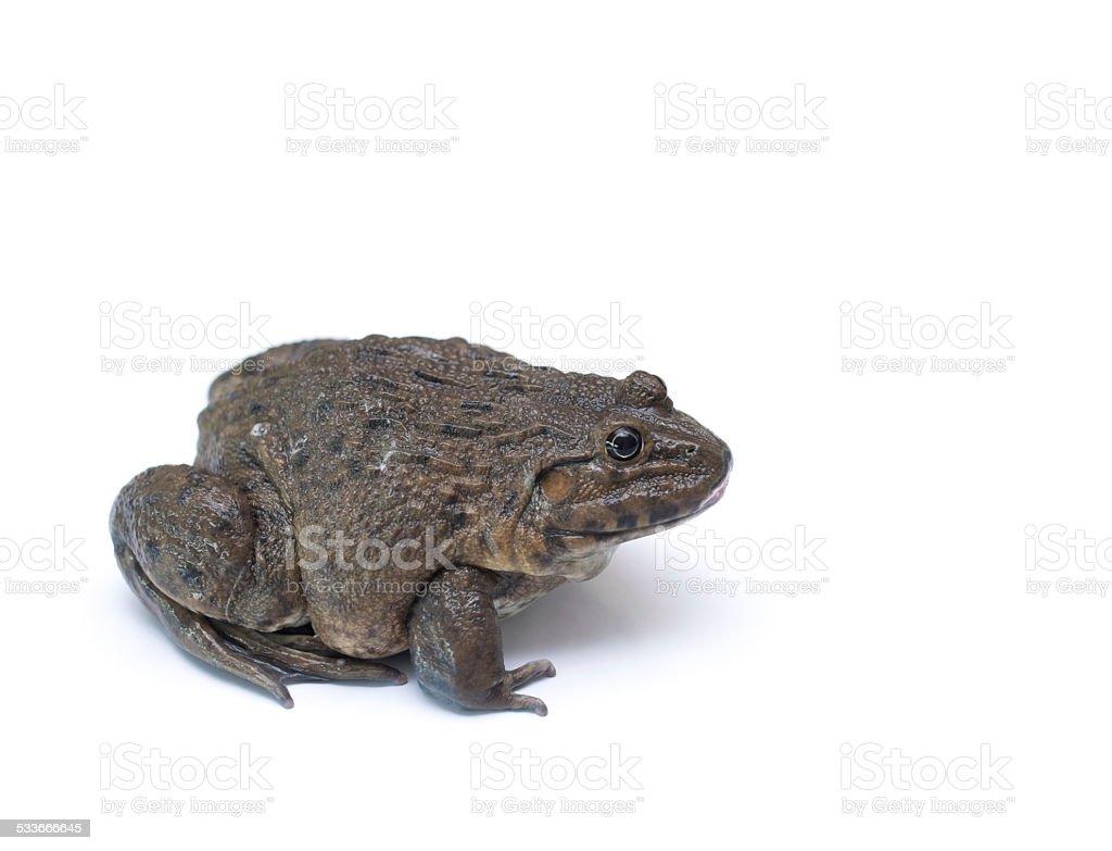 brown-frog – Foto